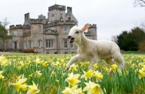 Lamb in daffodils in front of Winton House