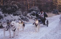 4 husky dog team racing in snow at Winton House near Edinburgh.