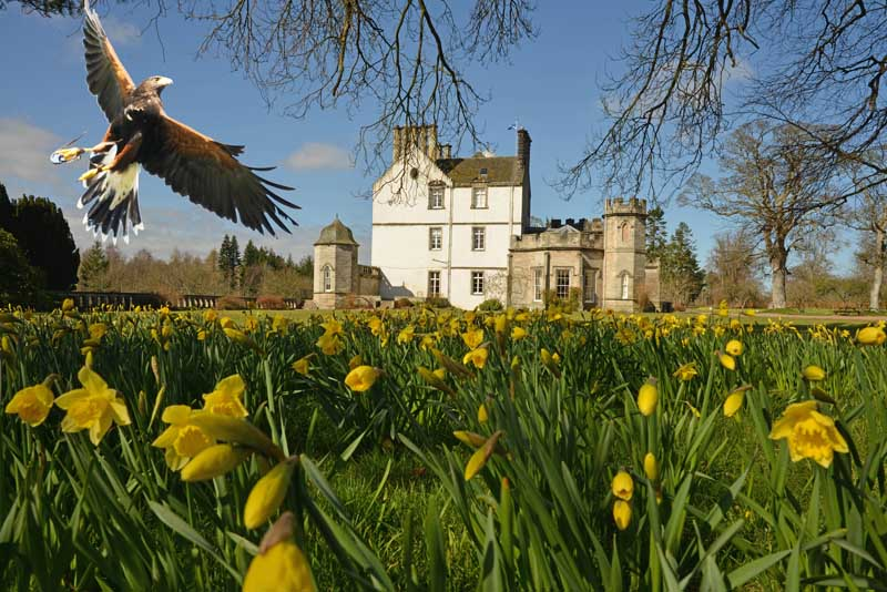 Eagle flying in front of Winton Castle near Edinburgh